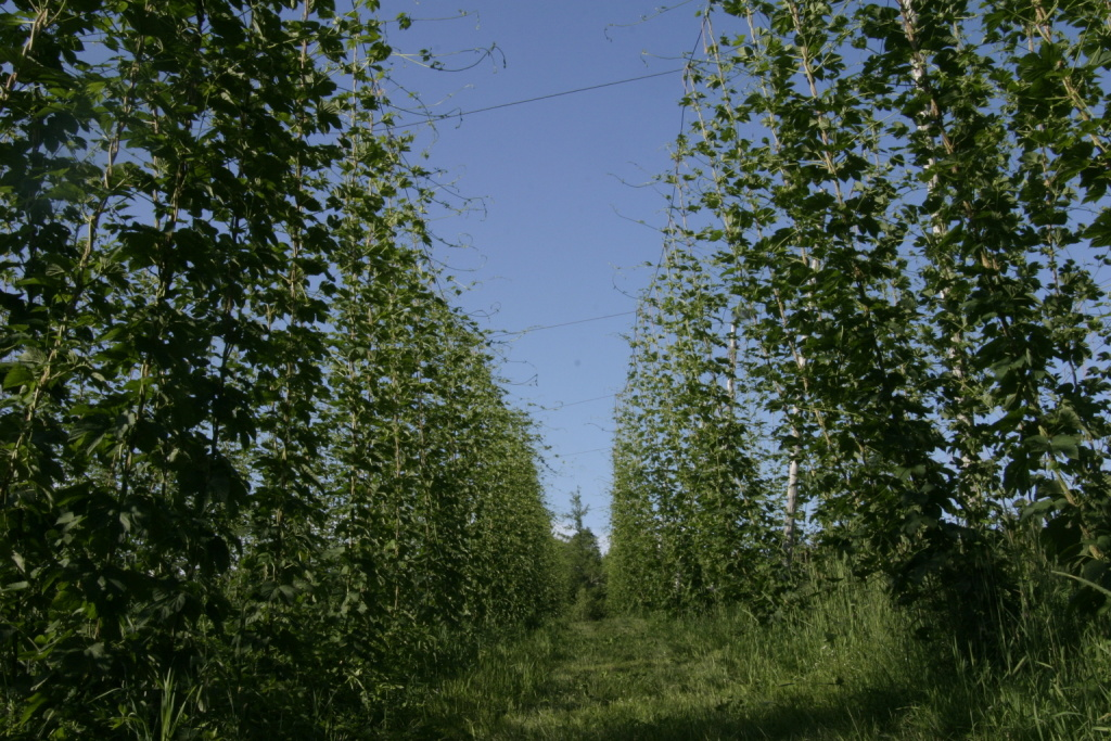 Hops in July.